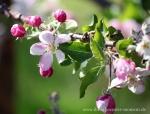 Blüte Altes Land14