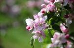 Blüte Altes Land13