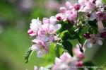 Blüte Altes Land12