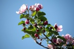 Blüte Altes Land11