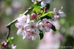 Blüte Altes Land9