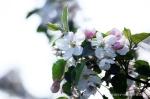 Blüte Altes Land3