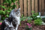 Aragon Maine Coonsilver-tabby