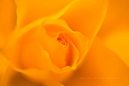rosenblüte geburtstag