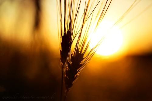 Abendsonne Korn