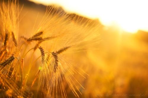 Kornfeld in goldener Abendsonne