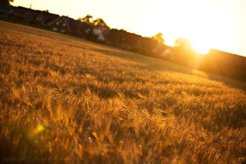 Kornfeld spaziergang in der abendsonne