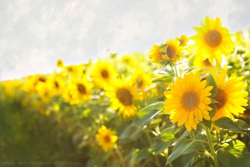 Sonnenblumenfeld mobiles fotoshooting