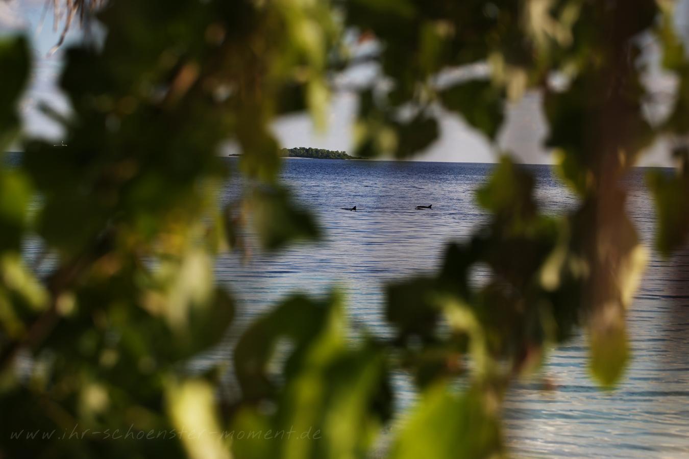 malediven-delphine